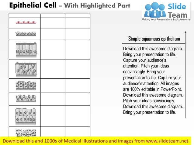 Epithelial cell medical images for power point Slide 3