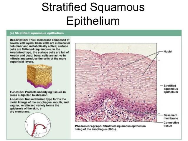 Epithelium Cellstissues Histology