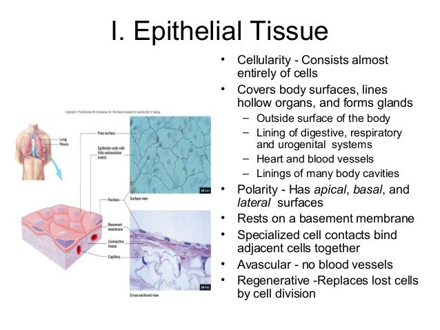 epithelial tissues