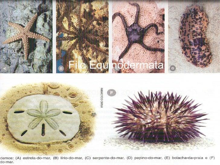 Equinodermos Cícero Antonio Filo Equinodermata Cícero Antonio