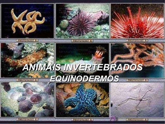 ANIMAIS INVERTEBRADOSANIMAIS INVERTEBRADOS EQUINODERMOSEQUINODERMOS