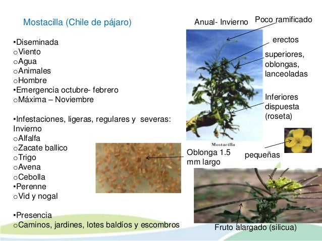 Principales maleza de la alfalfa jose a bravo salas for Zacate de invierno