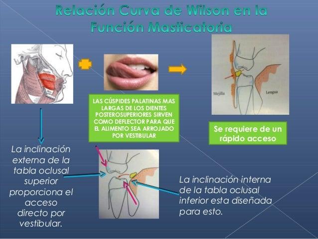 Fisiologia de oclusion