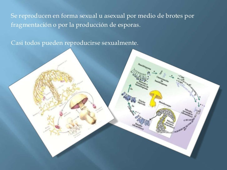 Se reproducen en forma sexual u asexual por medio de brotes por <br />fragmentación o por la producción de esporas.<br />C...