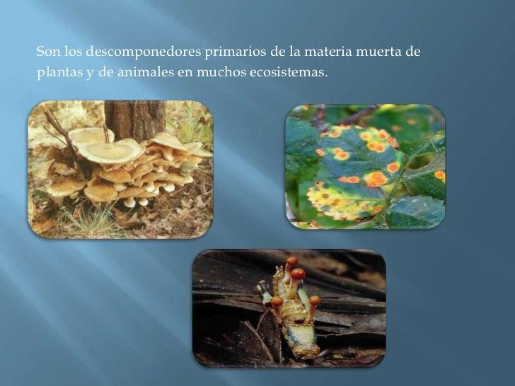 Son los descomponedores primarios de la materia muerta de<br />plantas y de animales en muchos ecosistemas.<br />