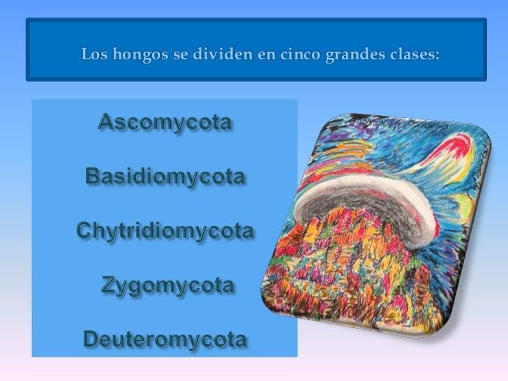Los hongos se dividen en cinco grandes clases:<br />AscomycotaBasidiomycotaChytridiomycotaZygomycotaDeuteromycota<br />