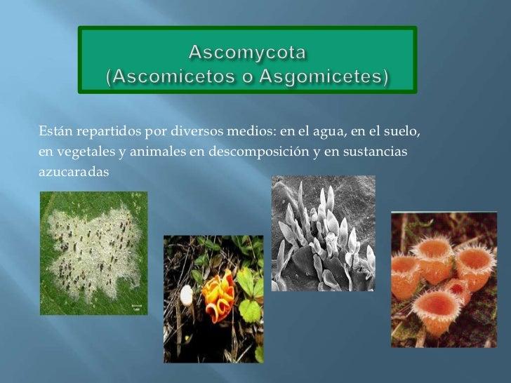 Ascomycota(Ascomicetos o Asgomicetes)<br />Están repartidos por diversos medios: en el agua, en el suelo, <br />en vegeta...