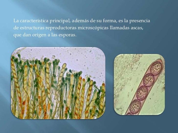 La característica principal, además de su forma, es la presencia<br />de estructuras reproductoras microscópicas llamadas ...