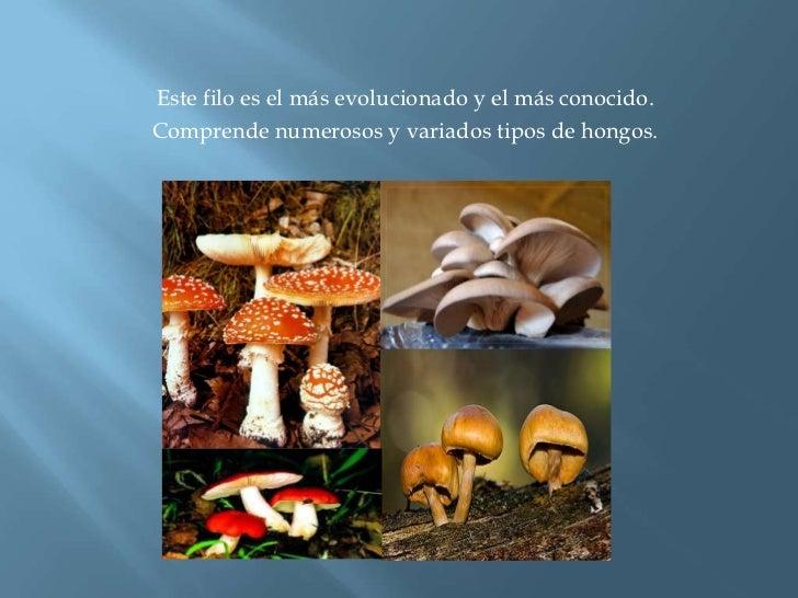 Este filo es el más evolucionado y el más conocido.<br />Comprende numerosos y variados tipos de hongos. <br />