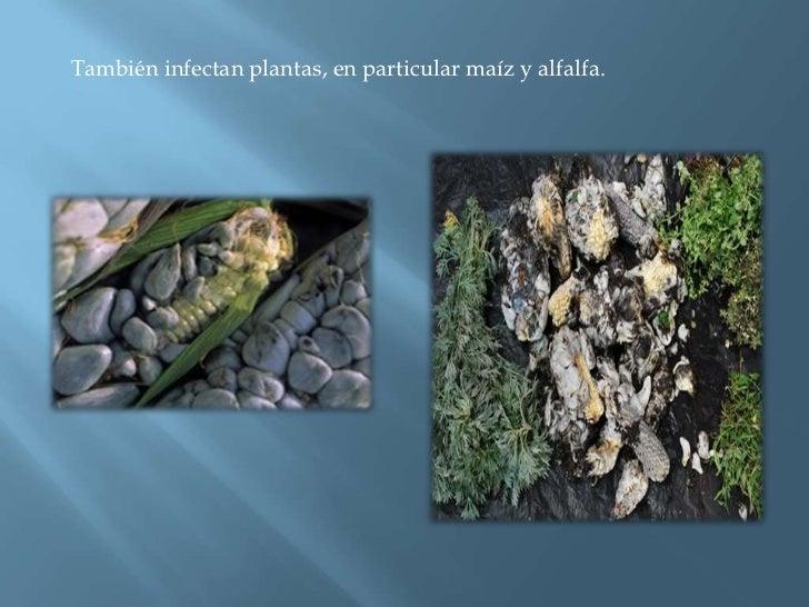 También infectan plantas, en particular maíz y alfalfa. <br />