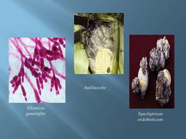 huitlacoche<br />Allomices gametofito<br />Synchytriumendobioticum<br />