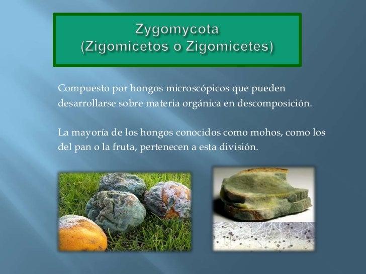 Zygomycota(Zigomicetos o Zigomicetes)<br />Compuesto por hongos microscópicos que pueden<br />desarrollarse sobre materia ...