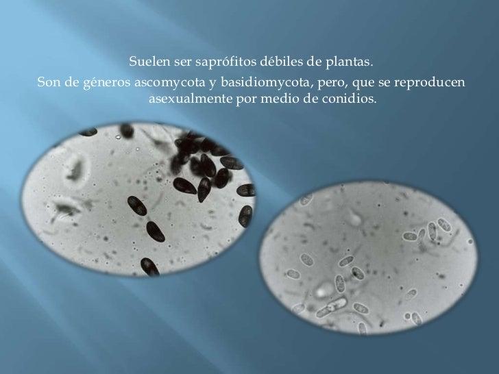 Suelen ser saprófitos débiles de plantas.<br />Son de géneros ascomycota y basidiomycota, pero, que se reproducen asexualm...