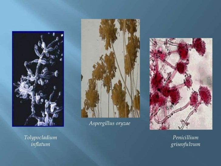 Aspergillusoryzae<br />Penicilliumgriseofulvum<br />Tolypocladiuminflatum<br />