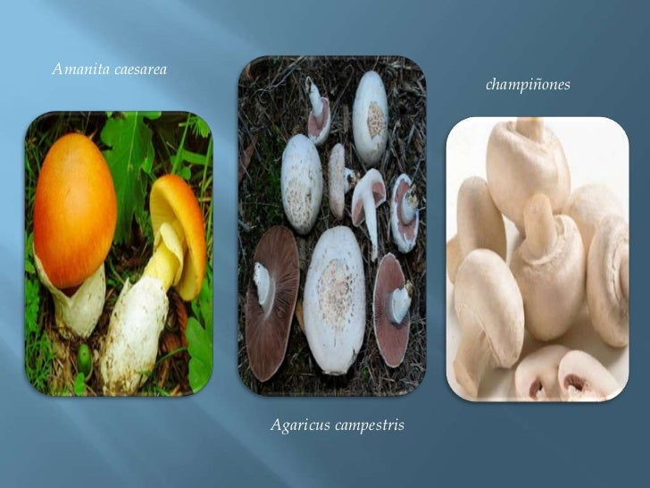 Amanita caesarea<br />champiñones <br />Agaricuscampestris<br />