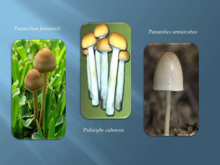 Panaeolinafoenisecii<br />Panaeolussemiovatus<br />Psilocybecubensis<br />