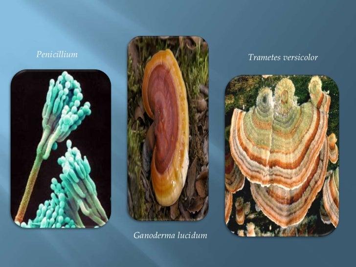Penicillium<br />Trametesversicolor<br />Ganodermalucidum<br />