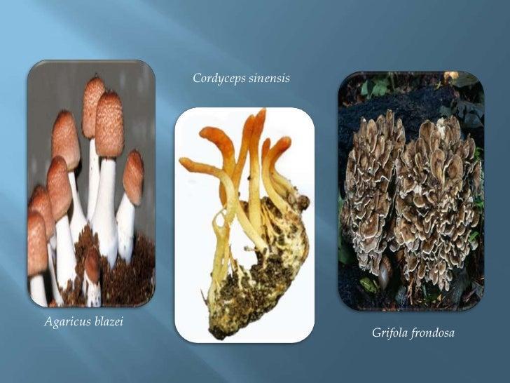Cordycepssinensis<br />Grifola frondosa<br />Agaricusblazei<br />