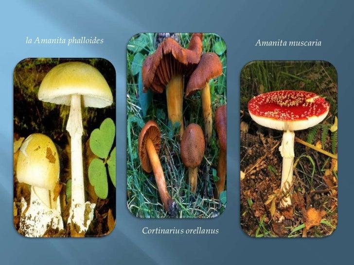 la Amanita phalloides<br />Amanita muscaria<br />Cortinariusorellanus<br />