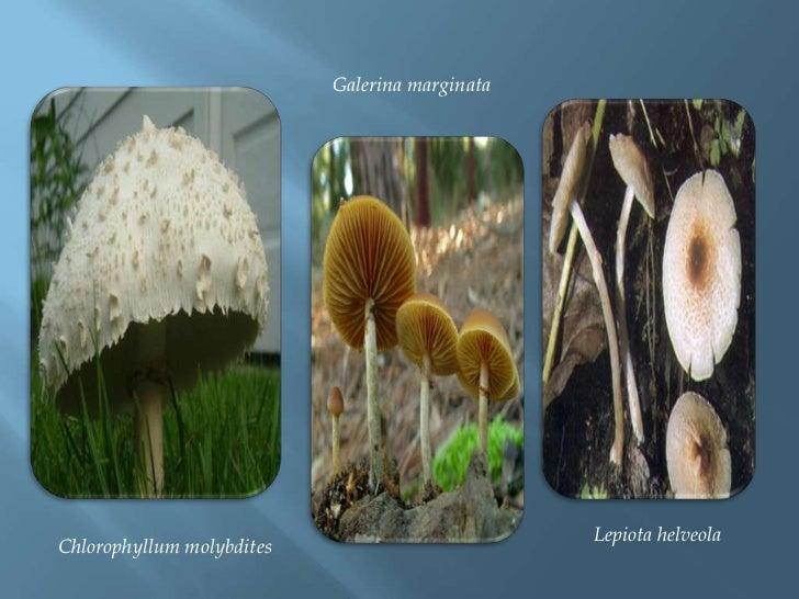 Galerinamarginata<br /> Lepiota helveola<br />Chlorophyllummolybdites<br />