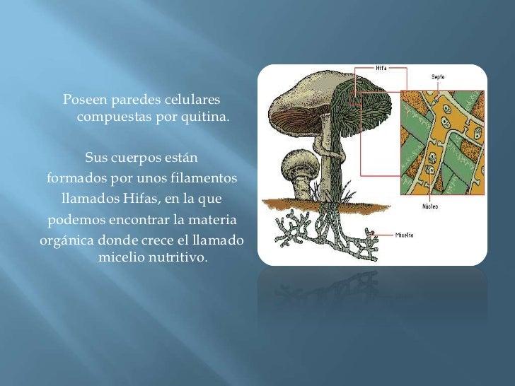 Poseen paredes celulares compuestas por quitina.<br />Sus cuerpos están<br />formados por unos filamentos<br />llamados Hi...
