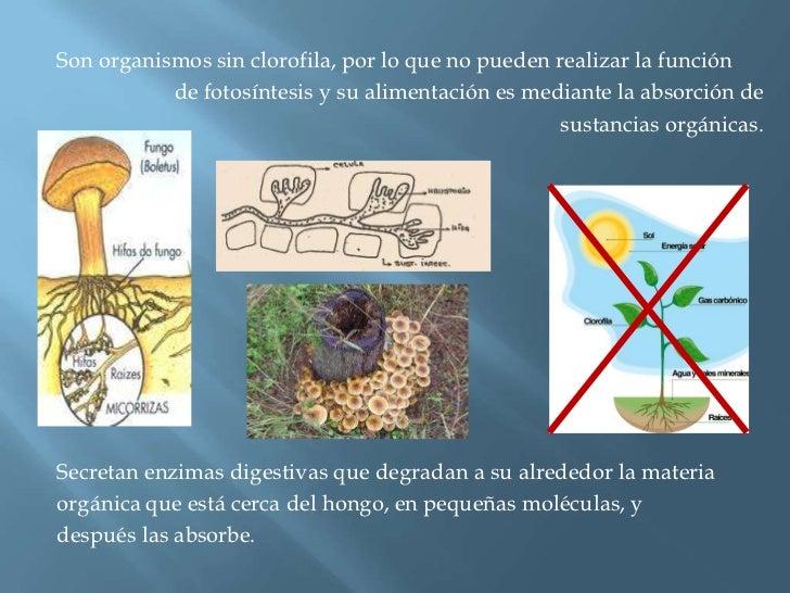 Son organismos sin clorofila, por lo que no pueden realizar la función <br />de fotosíntesis y su alimentación es mediante...