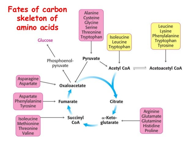Diagram Individual Amino Acids House Wiring Diagram Symbols