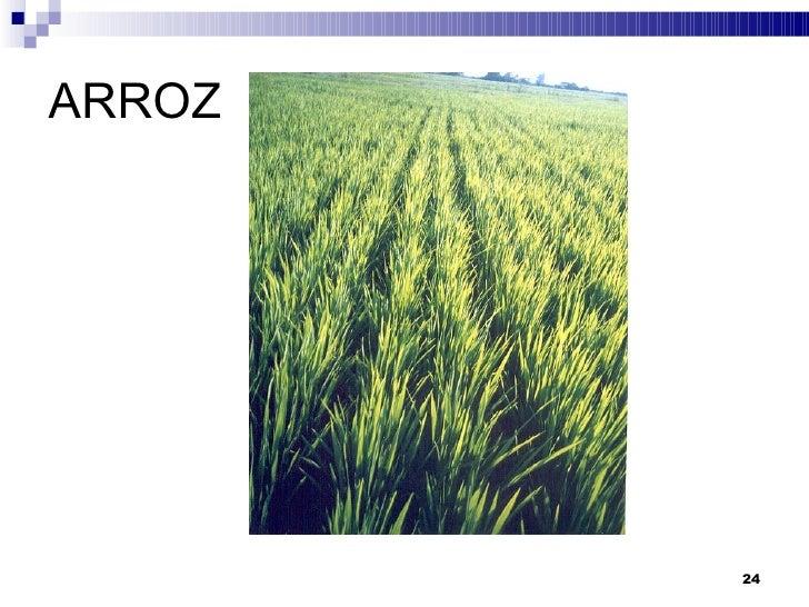 GIRASOL <ul><li>La  Superficie Total Sembrada  fue de  72.695 ha . </li></ul><ul><li>El  Rendimiento medio  fue de  1.919 ...