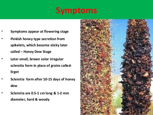 Symptoms • Symptoms appear at flowering stage • Pinkish honey type secretion from spikelets, which become sticky later cal...