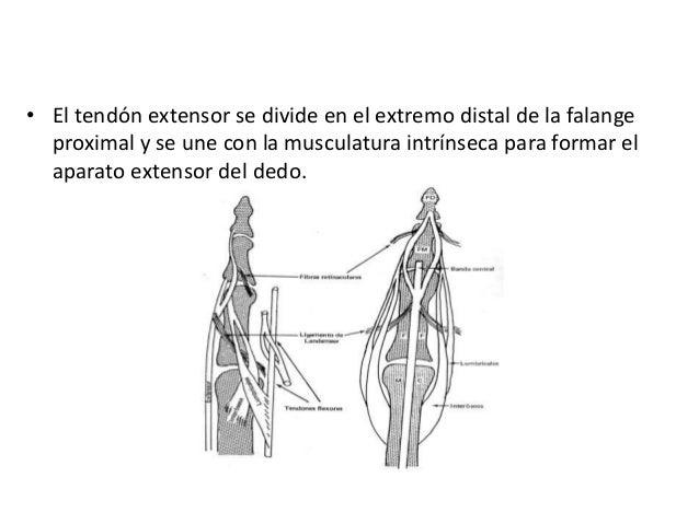 Anatomia funcional de la mano