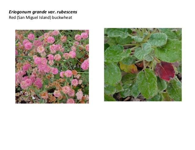 Eriogonum grande var. rubescens Red (San Miguel Island) buckwheat