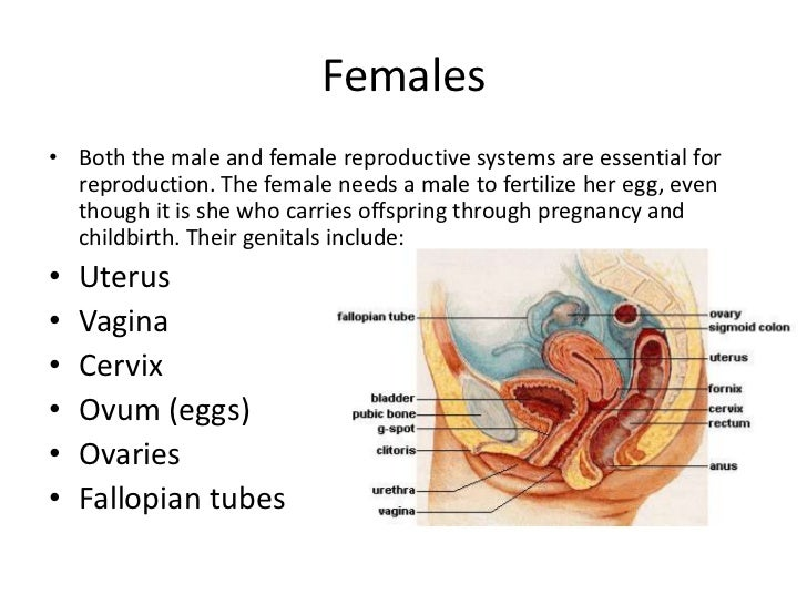 Male and Female reproductive system slide
