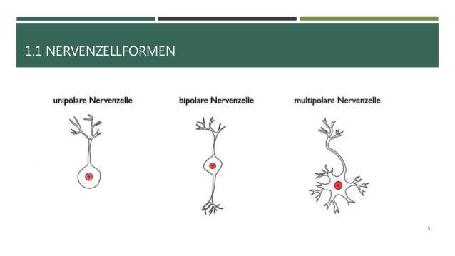 Erregung und Erregungsleitung bei Nervenzellen