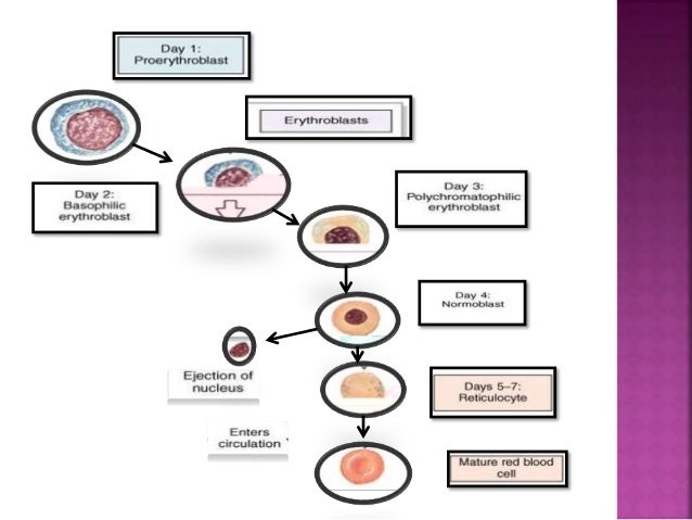 Erythropoiesis