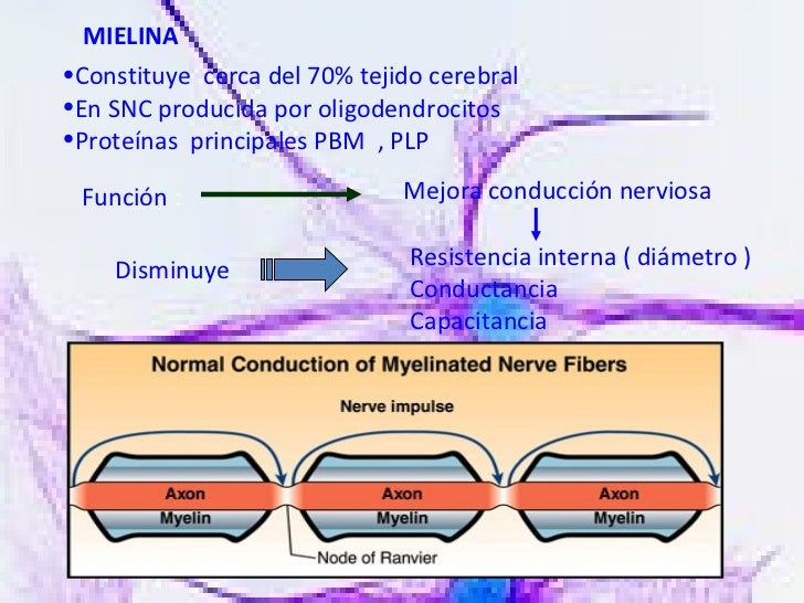 MIELINA  <ul><li>Constituye  cerca del 70% tejido cerebral </li></ul><ul><li>En SNC producida por oligodendrocitos </li></...