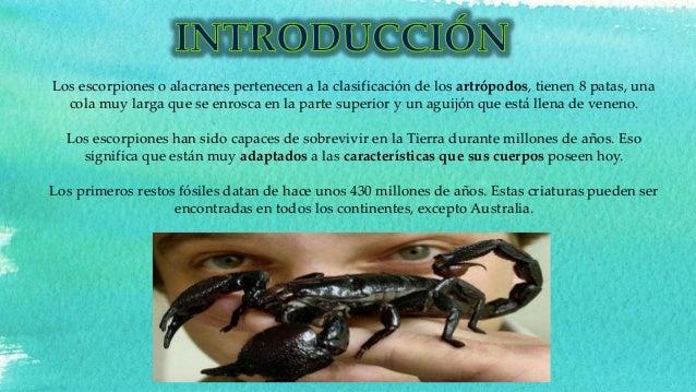 Los escorpiones o alacranes pertenecen a la clasificación de los artrópodos, tienen 8 patas, una cola muy larga que se enr...