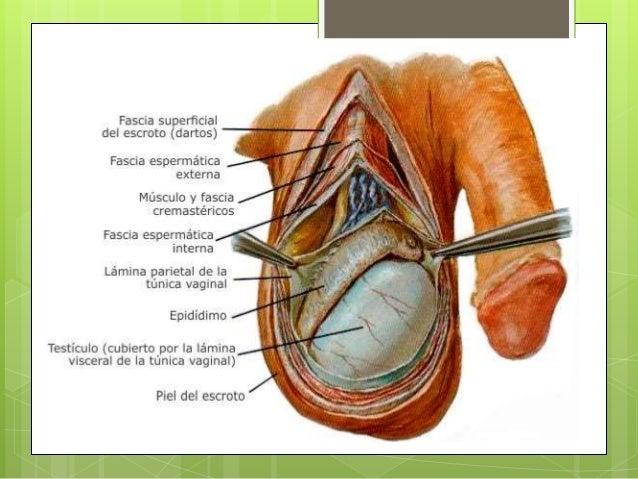 Escroto y envoltura del testículo y del epidídimo