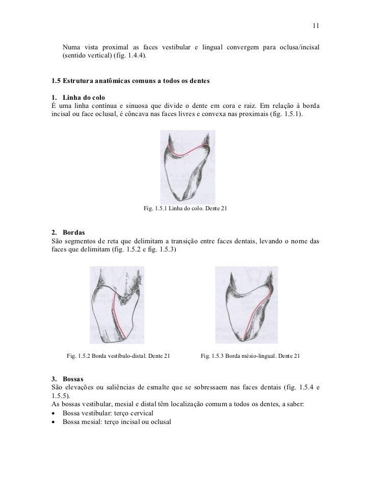 11   Numa vista proximal as faces vestibular e lingual convergem para oclusa/incisal   (sentido vertical) (fig. 1.4.4).1.5...