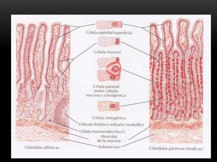 Histología del Esófago y Estómago