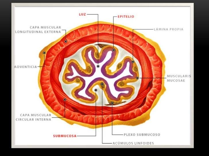 Llevar el Bolo alimenticio desde la faringe hasta el estómago en la unióngastroesofágica donde el cardias como válvula per...