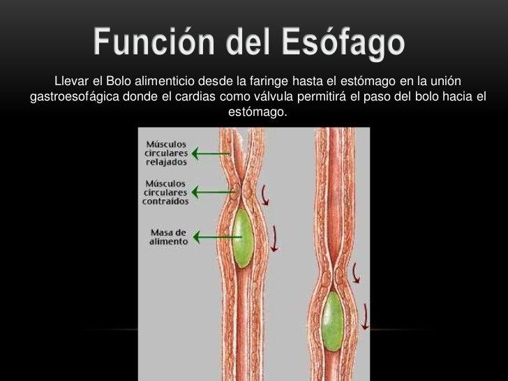 DISPOSICIÓN HISTOLÓGICA DEL ESTÓMAGO                • Capa Muscular LongitudinalCapa Muscular   • Capa Muscular Circular  ...