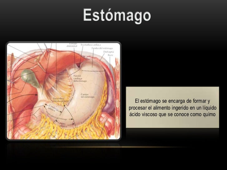 Circular   Longitudinal ExternaOblicua Interna