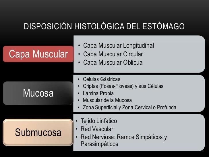 Mucosa Superficial  Cripta o FosaMucosa de Fondo (Cervical)           Submucosa con Tejido           Conectivo Colagenoso,...