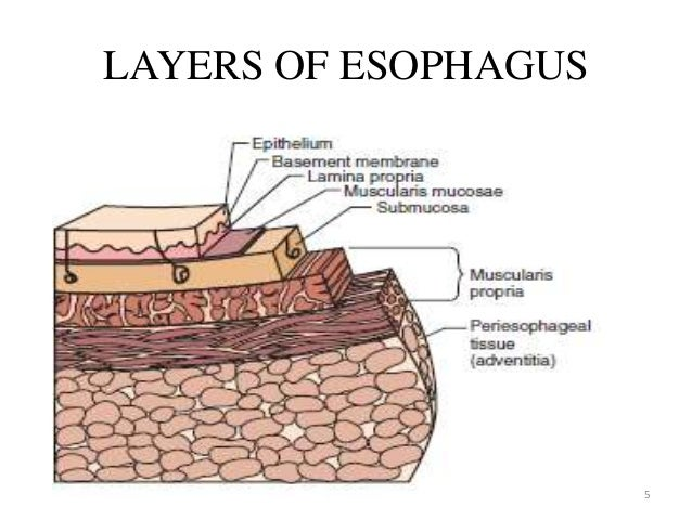 Esophagus layers