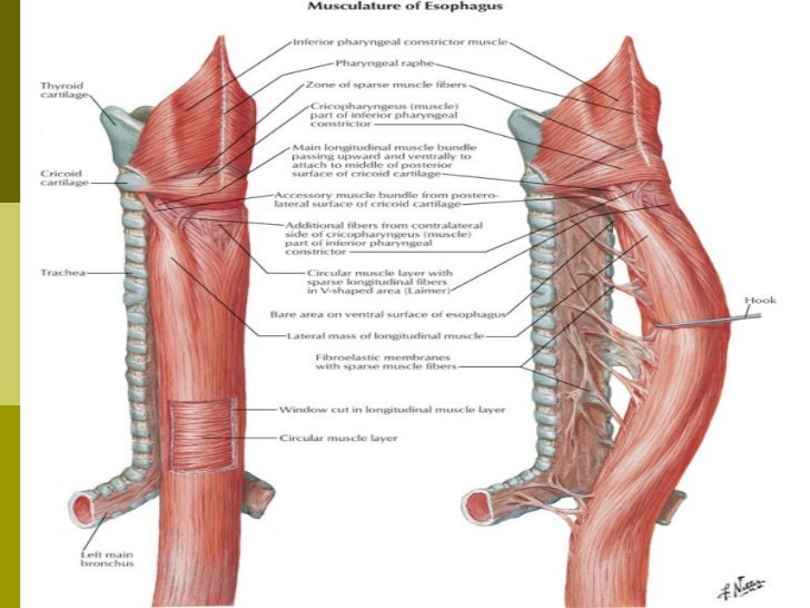 esofagus