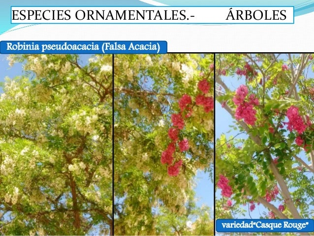 especies vegetales ornamentales arb reas