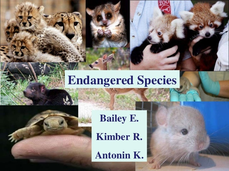 Endangered Species Human Impact Bailey E. Antonin K. Kimber R. Endangered Species Bailey E. Kimber R. Antonin K.