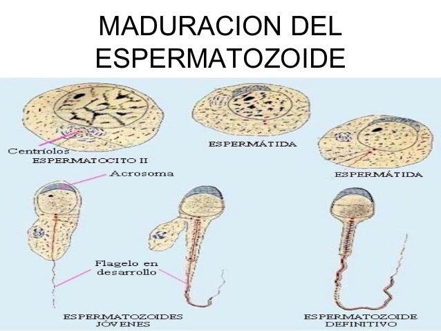 Espermatogenesis powerplugs