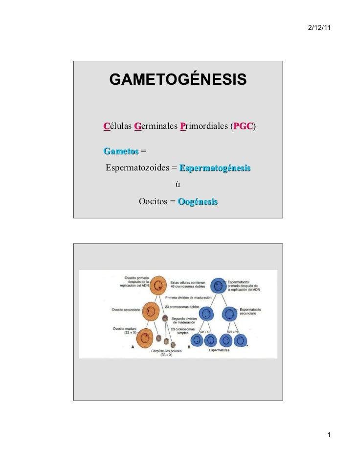 2/12/11 GAMETOGÉNESISCélulas Germinales Primordiales (PGC)Gametos =Espermatozoides = Espermatogénesis                 ú   ...
