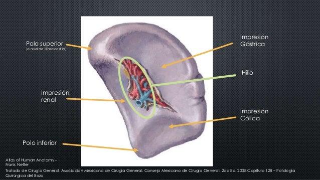 Polo superior (a nivel de 10ma costilla) Polo inferior Hilio Impresión renal Impresión Gástrica Impresión Cólica Tratado d...